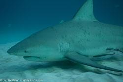 BD-101205-Playa-del-Carmen-2621-Carcharhinus-leucas-(Müller---Henle.-1839)-[Bull-shark.-Tjurhaj].jpg